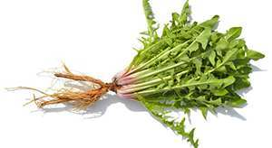 Fresh dandelion leaves aid in relieving joint pain